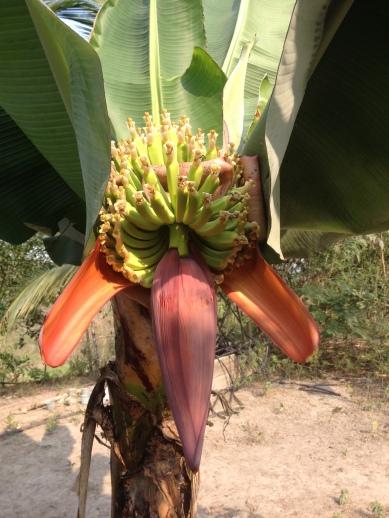 farm banana